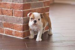Cachorrinho branco vermelho do sono engraçado do cão inglês do touro perto da parede de tijolo e no assoalho que olha à câmera Ca foto de stock royalty free