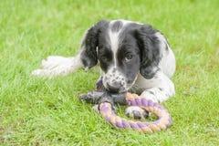 Cachorrinho brincalhão do spaniel Imagem de Stock