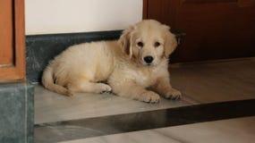 Cachorrinho Buffy - meus menina & x28; 4& x29; Foto de Stock Royalty Free