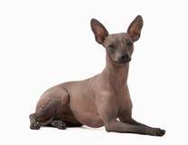 Cachorrinho calvo mexicano no branco imagens de stock royalty free