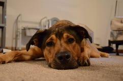 Cachorrinho cansado no assoalho Fotografia de Stock