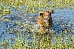 Cachorrinho cocker spaniel do cão que joga na água imagem de stock