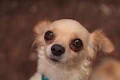 Cachorrinho colorido Tan nervoso da chihuahua imagem de stock royalty free