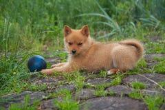 Cachorrinho com a cápsula azul na grama Fotografia de Stock Royalty Free