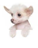 Cachorrinho com crista chinês acima da bandeira Imagens de Stock