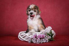 Cachorrinho com crista chinês do cão em uma grinalda branca com flores Fotos de Stock