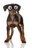 Cachorrinho com olhos grandes Foto de Stock
