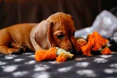 Cachorrinho com um brinquedo Imagem de Stock