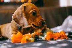 Cachorrinho com um brinquedo Imagens de Stock