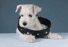 Cachorrinho com um colar Foto de Stock