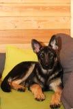Cachorrinho crescido do pastor alemão Imagens de Stock Royalty Free