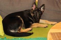 Cachorrinho crescido do pastor alemão Imagens de Stock