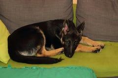 Cachorrinho crescido do pastor alemão Foto de Stock Royalty Free