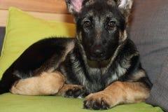 Cachorrinho crescido do pastor alemão Fotos de Stock Royalty Free