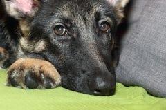 Cachorrinho crescido do pastor alemão Imagem de Stock