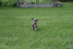 Cachorrinho curiosamente bonito do salvamento da vira-lata da montanha fotos de stock royalty free
