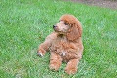 Cachorrinho da caniche do abricó na grama Imagens de Stock