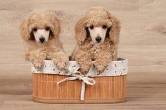 Cachorrinho da caniche do anão na cesta Foto de Stock Royalty Free