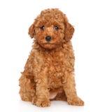 Cachorrinho da caniche no fundo branco Fotografia de Stock Royalty Free