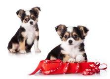 Cachorrinho da chihuahua Fotografia de Stock Royalty Free