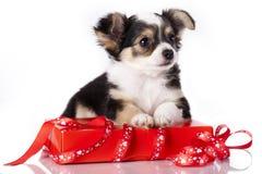Cachorrinho da chihuahua Imagem de Stock