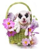 Cachorrinho da chihuahua Imagens de Stock Royalty Free