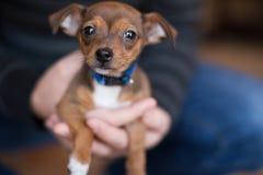Cachorrinho da chihuahua Fotografia de Stock
