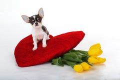 Cachorrinho da chihuahua com tulipas amarelas e coração vermelho Fotografia de Stock