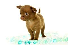 Cachorrinho da chihuahua de Brown imagem de stock