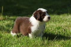 Cachorrinho da collie farpada no jardim Imagem de Stock
