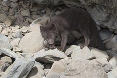 Cachorrinho da raposa ártica azul dos comandantes que mastiga o do norte Foto de Stock
