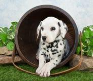 Cachorrinho Dalmatian imagens de stock royalty free