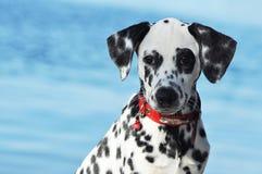 Cachorrinho Dalmatian perto do rio Fotografia de Stock Royalty Free
