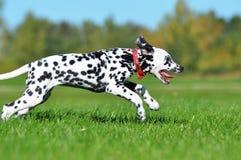 Cachorrinho Dalmatian que corre através do campo Imagem de Stock