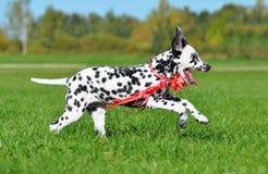 Cachorrinho Dalmatian que corre através do campo Foto de Stock