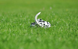 Cachorrinho Dalmatian que estabelece em uma grama verde Imagens de Stock Royalty Free
