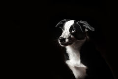 Cachorrinho das collies de beira Fotografia de Stock Royalty Free