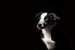 Cachorrinho das collies de beira Fotografia de Stock Royalty Free