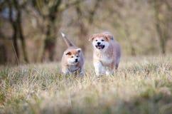Cachorrinho de Akita imagens de stock royalty free