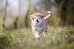 Cachorrinho de Akita imagem de stock royalty free