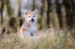 Cachorrinho de Akita imagens de stock