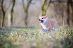 Cachorrinho de Akita fotografia de stock royalty free