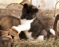 Cachorrinho de akita do americano Fotografia de Stock Royalty Free