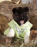 Cachorrinho de akita do americano Fotos de Stock