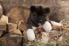 Cachorrinho de akita do americano Fotografia de Stock