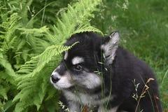 Cachorrinho de Alusky que joga o esconde-esconde nas samambaias imagens de stock