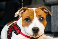 Cachorrinho de Amstaff que olha satisfeito Fotos de Stock Royalty Free