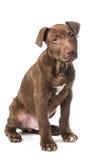 Cachorrinho de assento de vista bonito do pitbull Imagens de Stock