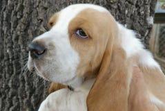Cachorrinho de Basset Hound Imagens de Stock Royalty Free