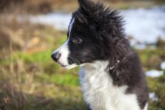 Cachorrinho de border collie Foto de Stock